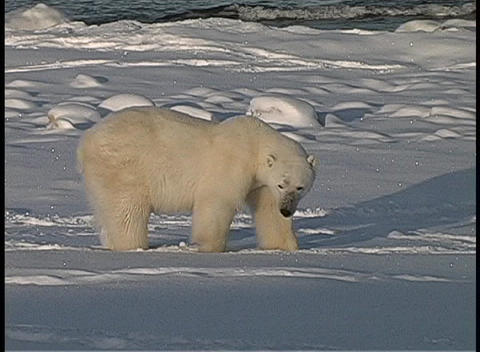 A medium shot of a polar bear sitting in the snow near... Stock Video Footage