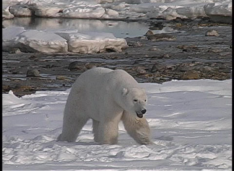 A tracking shot of a polar bear walking across the arctic... Stock Video Footage