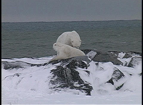 A hand-held shot of two polar bears wrestling in the snow... Stock Video Footage