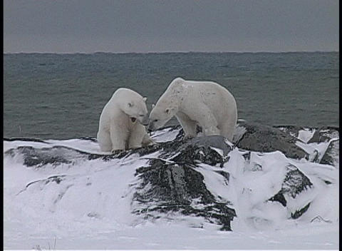 A hand-held shot of two polar bears wrestling in the snow at water's edge in Churchill, Alaska Footage