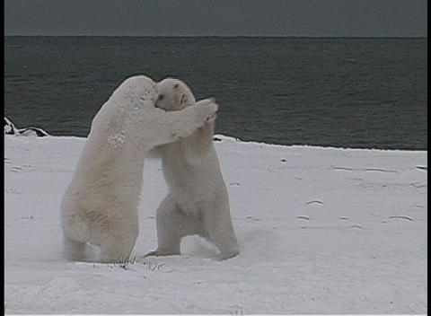 polar bears playfully fight each other along a frozen... Stock Video Footage