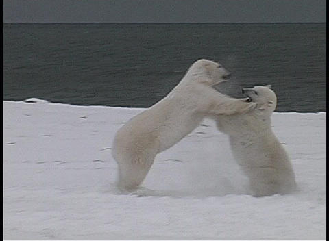 polar bears playfully fight each other along a frozen shoreline near Churchill, Alaska Footage