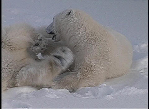 polar bears roll and tussle in a snow-covered wilderness... Stock Video Footage
