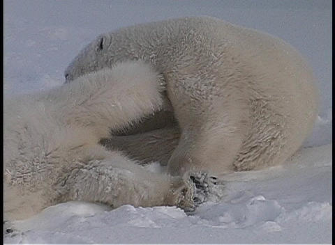 polar bears roll and tussle in a snow-covered wilderness in Churchill, Alaska Footage