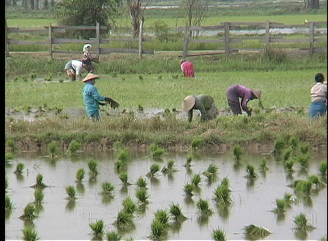 A medium-shot of women working in a rice field in Asia Stock Video Footage