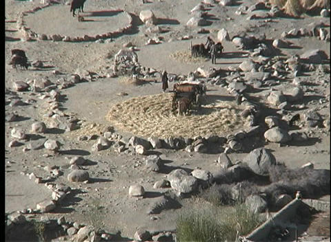 A birds-eye of people and animals working in threshing circles in Asia Footage