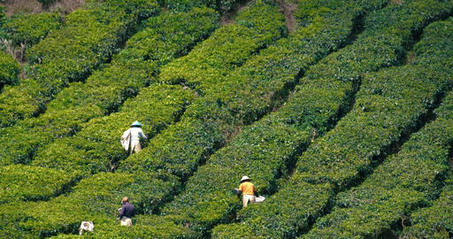 Tea plantation workers harvesting fresh tea leaves into bags in a traditional way in Cameron Live Action