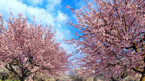 Blooming sakura tree and petals on blue sky background in slow-mo Animation