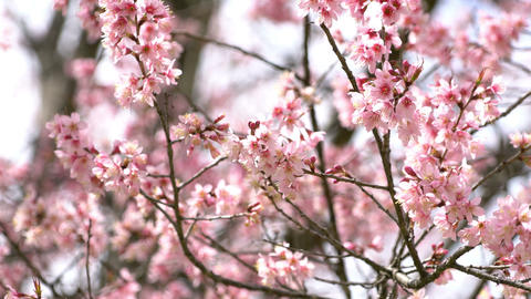 Beautiful pink cherry blossom with sunlight Live Action