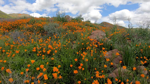 Walking between California Golden Poppy and Goldfields blooming in Walker Canyon Live Action
