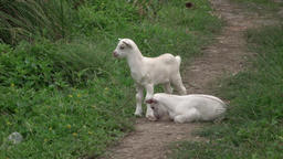 Jamaica baby white Billy Goats on neighborhood trail 4K Footage