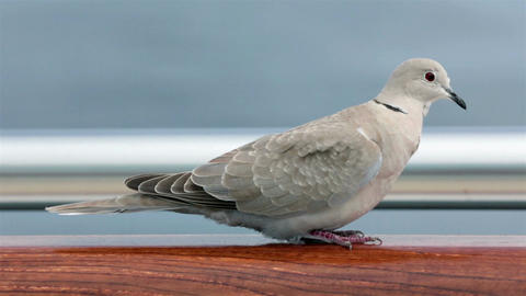 Mourning Dove bird sitting on rail windy day HD 7813 Footage