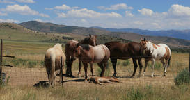 Mustang horses pregnant with young watering station DCI 4K Footage
