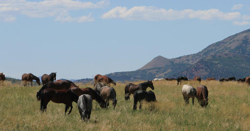 Mustang horses on mountain valley meadow range feeding DCI 4K Footage