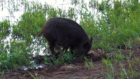 Wild pig digs nose land in search of food on lake side Live Action