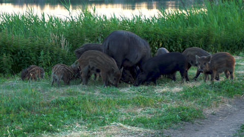 Wild pigs fight over food. A big pig hits a little steam. Pigs eat together Live Action