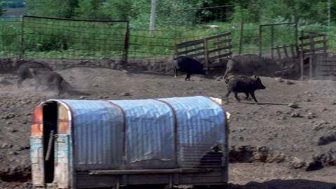 Wild pigs run a herd. Pigs are in the can Live Action