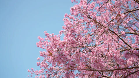 Pink cherry blossom on blue sky background with copy space Live Action