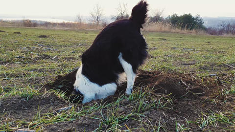 Determined dog digging a hole in the ground on a open field, in search of small rodents. Purposeful Live Action