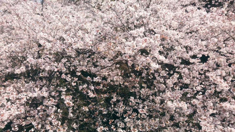 Blooming cherry blossom tree at springtime Live Action