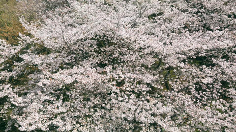 Top view of cherry blossom tree at park Live Action