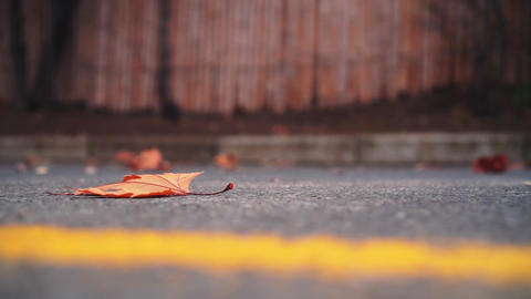 Closeup of a dry yellow maple leaf on an asphalt road with a yellow stripe. A Live Action
