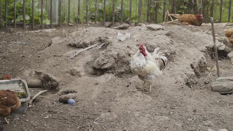 Beautiful domestic hens walk around the yard Live Action