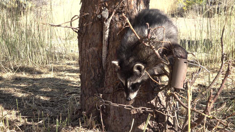 Raccoon trapped at base of apple tree 4K Footage
