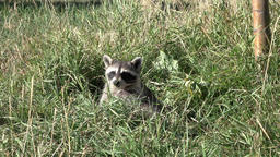 Raccoon wildlife in orchard grass 4K Footage