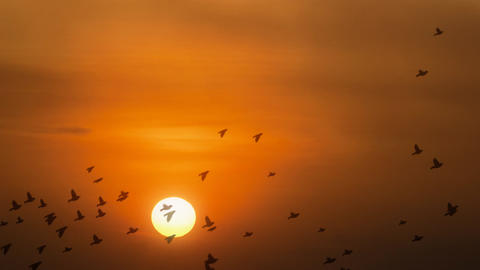 Birds flying in Sunset Footage