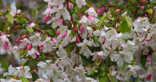 Springtime fruit tree blossoms new leaves DCI 4K Footage