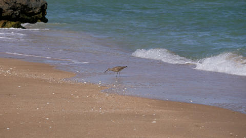 Bird with a long beak walks along the coastline and collects crustaceans Live Action