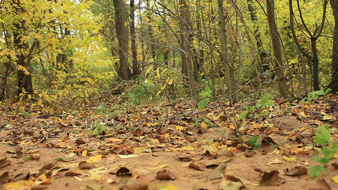 autumn forest panorama low angle view Live Action
