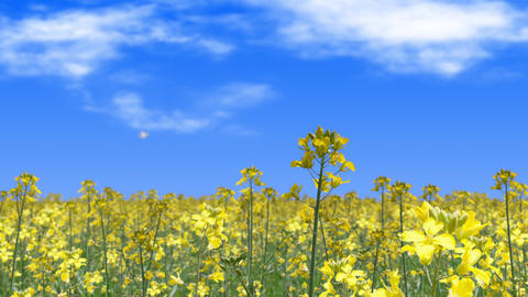 canola flower field and butterfly landscape, loop _ blue sky and clouds Animation