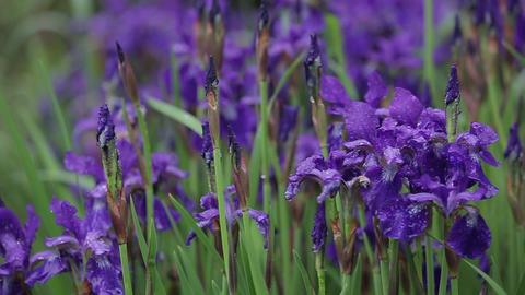 Romantic and beautiful iris flowers grow in the garden on tall grass. Flora in Live Action