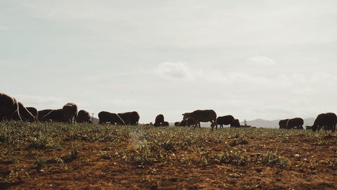 A flock of sheep grazes in a green meadow. Sheep is eating grass. Sheep breeding Live Action