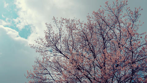 Cherry blossom tree with clouds on blue sky Live Action