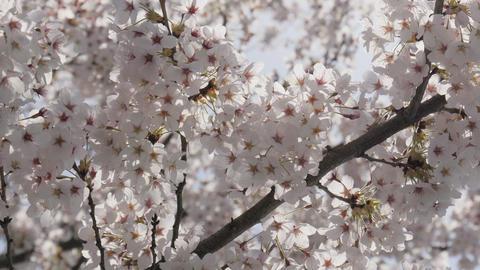 Beauty sakura cherry blossom with sunlight Live Action