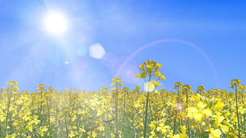 canola flower field and butterfly landscape, loop _ blue sky and sun CG動画