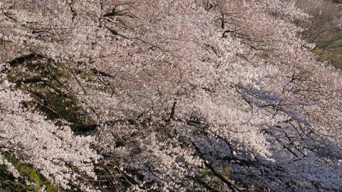 Cherry blossom in full bloom at park Live Action