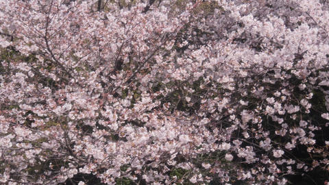 Cherry blossom trees in spring Live Action