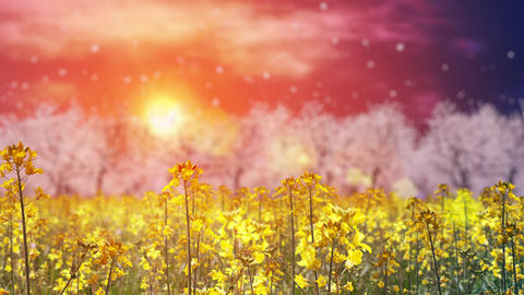 canola flower field and cherry blossom landscape, loop _ sunset sky Animation
