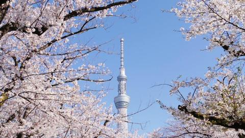 Tokyo sky tree tower with sakura cherry blossom frame Live Action