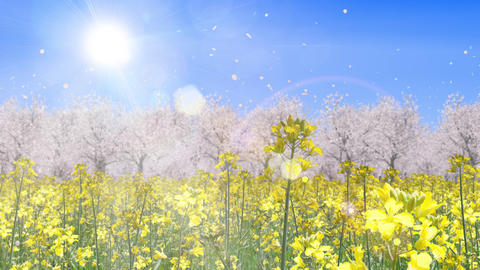 canola flower field and cherry blossom landscape, loop _ blue sky and sun CG動画