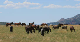 Wild Mustang horses on fenced mountain valley pasture DCI 4K Footage