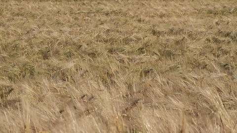 ears of ripe wheat in a field Footage