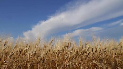 Ripe wheat against a blue sky Footage