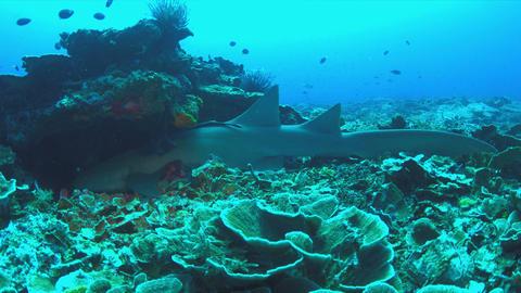 Nurse shark on a coral reef. 4k Footage
