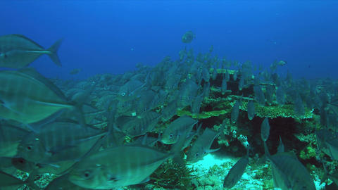 School of Blue Trevallies on a coral reef. 4k Footage