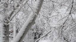 Tree Branches Covered In Snow, Blizzard, Snow Storm, Winter, Tilt Down Footage